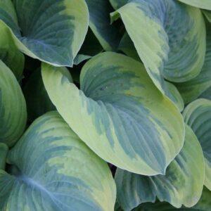 Wintergreen Hosta
