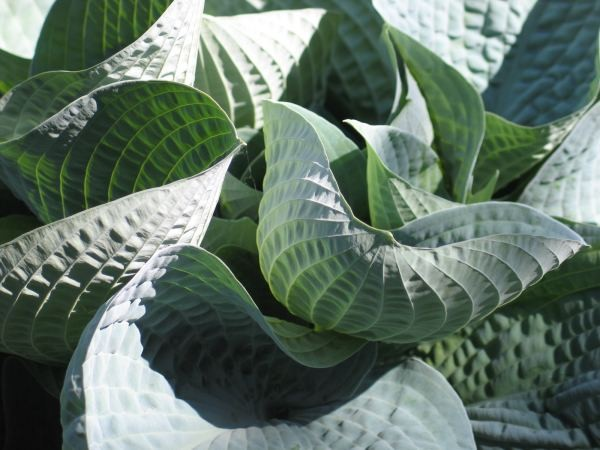 Wishing Well Hosta