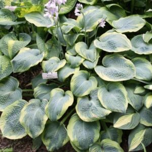 Woolly Mammoth Hosta
