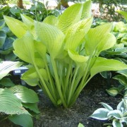 World Cup Hosta