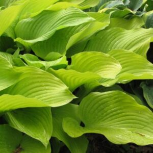Xanadu Shinning Knight Hosta