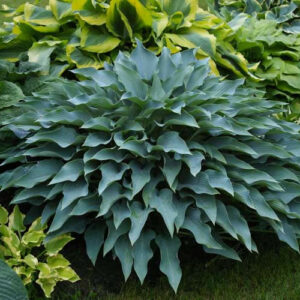 Yankee Blue Hosta