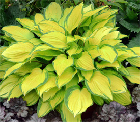 Hosta-Island-Breeze