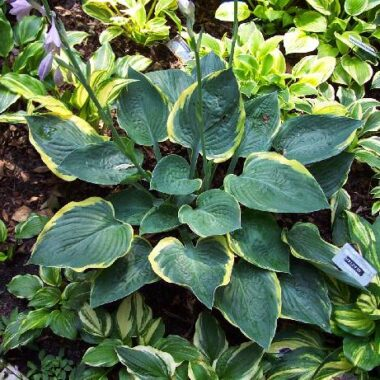Battle Star Hosta