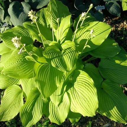 Blaze of Glory Hosta