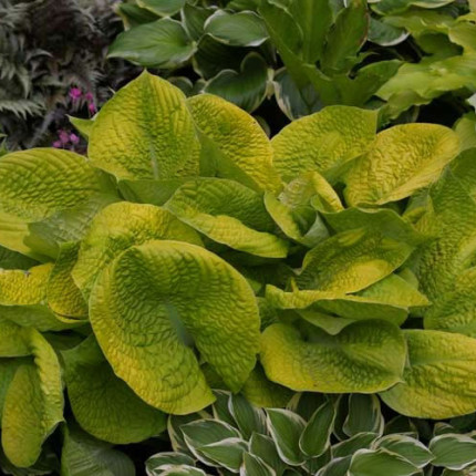 Faith Hosta