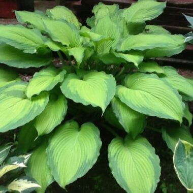 Journeys End Hosta