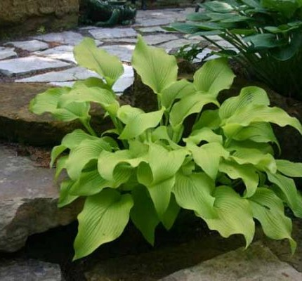 Sun Power Hosta